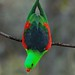 Red-Winged Parrot  ( M )