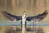 Kormoran    bei den Fischern gehaßt ist dennoch ein schöner Vogel