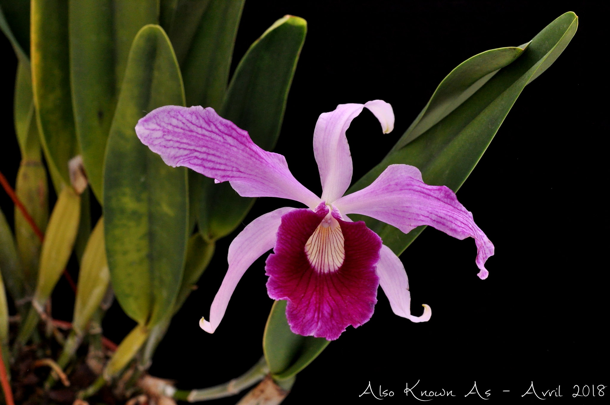 Cattleya purpurata f. flamea 'Dos Ganchos' 41719507712_877c201dbd_k