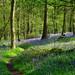 Bluebell woods near Brocket Hall