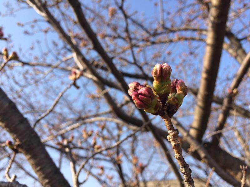 金沢 桜開花宣言!