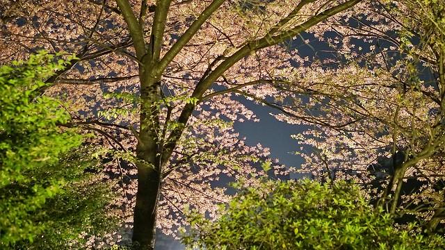 三渓園観桜の夕べ