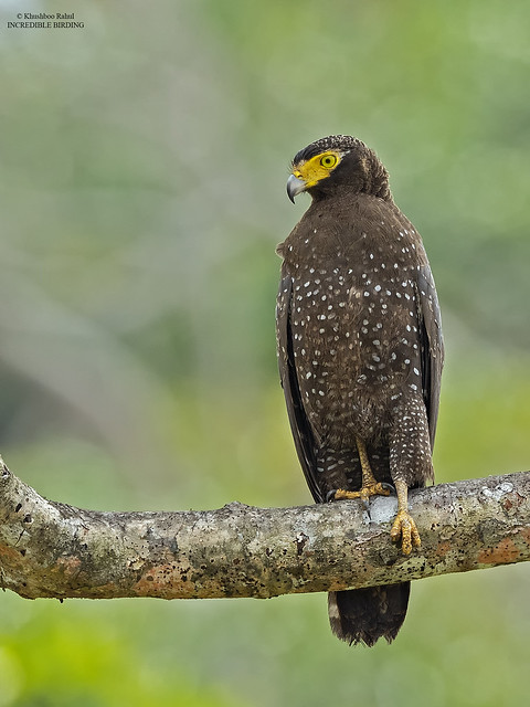 The Andaman serpent eagle, Canon EOS-1D X MARK II, Canon EF 800mm f/5.6L IS