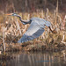 Great Blue Heron by Bryan O'Toole
