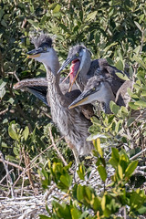 3 Great Blue Heron  Chicks  Waiting on the Next Meal