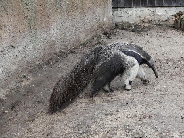 Ameisenbär, Zoo Duisburg