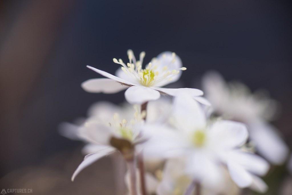 Weisse Leberblümchen 2 - Eischoll