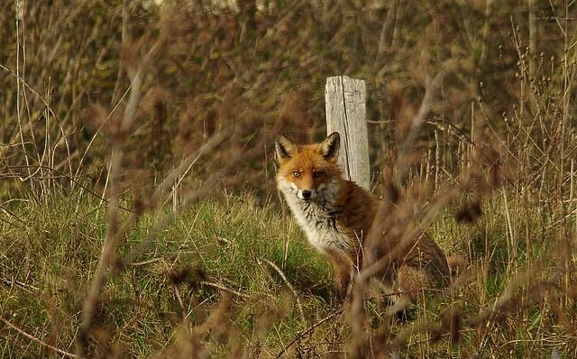 urban red fox  (1)