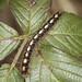Oak Eggar Moth Caterpillar