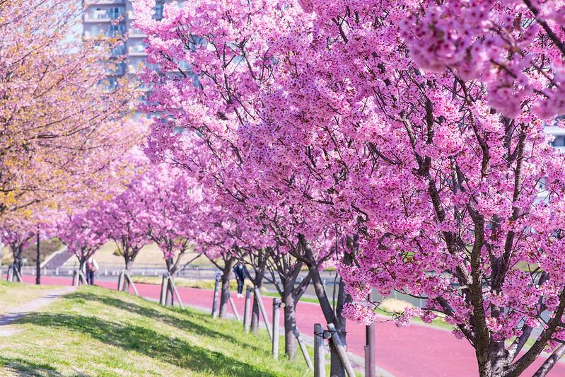 汐入公園の桜並木