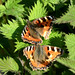 Small Tortoiseshell butterflies at Chesworth Farm, Horsham