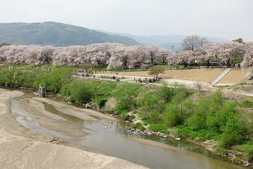八幡市背割堤櫻花