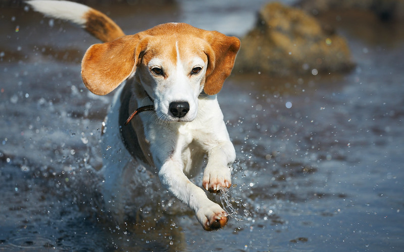 Spring Beagle! [5D4_0321]