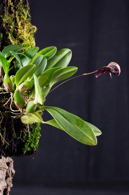 Miniatur-Orchideen Teil 4 - Seite 6 40448736294_4771646f97_c