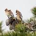 Cedar Waxwing DSC00783.jpg by BobLewis