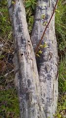 American Hornbeam (Carpinus caroliniana), Westphalia Ct. and Rt. 4, Broomes Island Quad, Calvert County, MD, 2018_0427