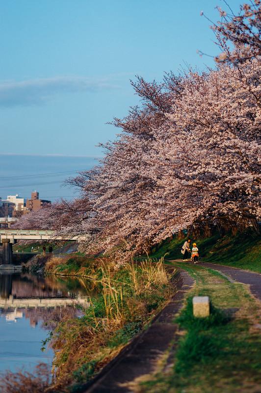 CherryBlossoms_05