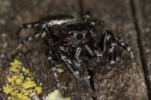 103/365  Jumping Spider (Salticidae)