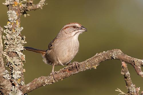 Cachilo Corona Castaña - Rhynchospiza strigiceps - Stripe-capped Sparrow