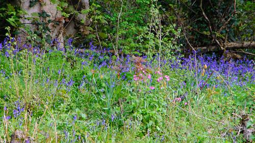 Bluebells, Worfield wood
