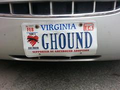 Greyhound (Greyhound Adoption)