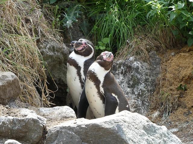 Humboldt-Pinguin, Hagenbeck