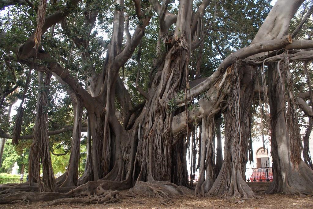 Voici l'un des plus grands arbres d'Europe dans le jardin Garibaldi à Palerme.