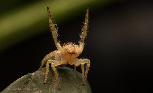 Hands up if you like Jumping Spiders!