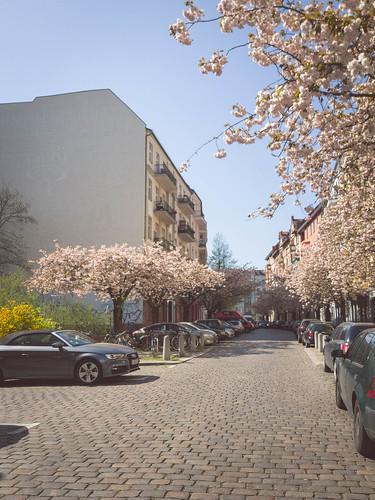 109 Cherry blossom