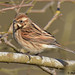 reed bunting 2 2018 female