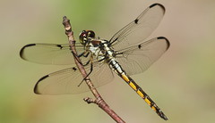 Great Blue Skimmer (immature male)- Aripeka Sandhills Preserve