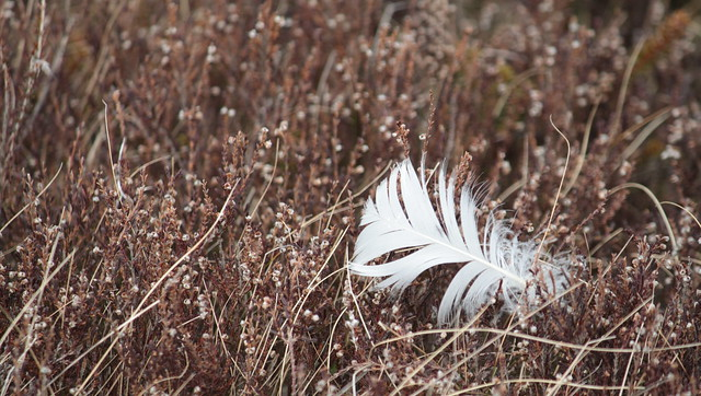 feather in heather, Canon EOS 500D, Canon EF-S 55-250mm f/4-5.6 IS