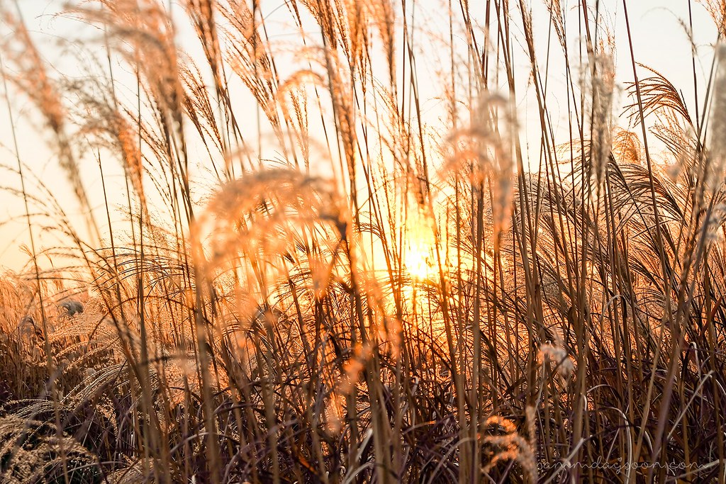 silver_grass_sunset