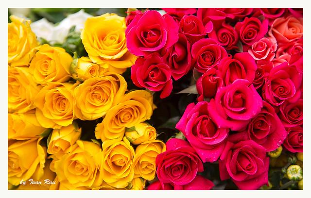 SHF_6417_Rose