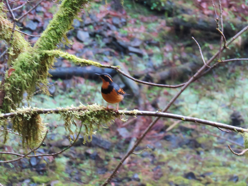 Varied Thrush at Lower South Falls