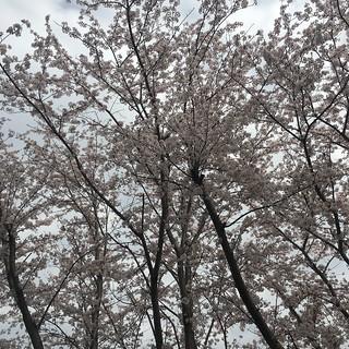 3月30日 矢那川の桜