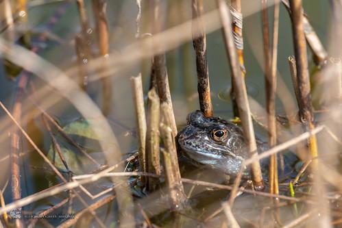 Rana arvalis, Moor frog, Moorfrosch