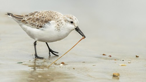 Sanderling playing with his food.