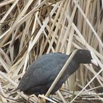 Aves en las lagunas de La Guardia (Toledo). 30-03-2018