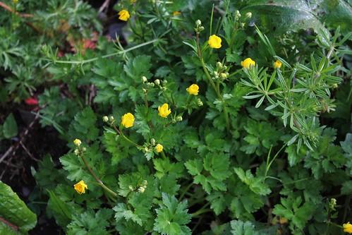 Ranunculus repens - renoncule rampante 41211546544_3ec537a349