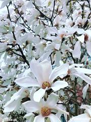 日本玉兰 Magnolia Kobus
