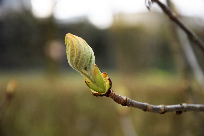 Horse Chestnut Leaf Buds 10.04 (8)