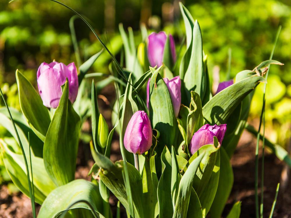 Tulpen_004
