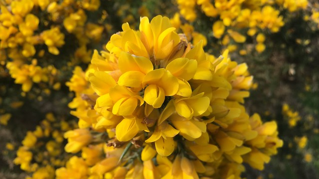 Close up of bright yellow Gorse flowers