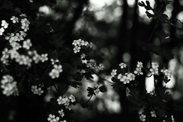 Crataegus with Bokeh 6