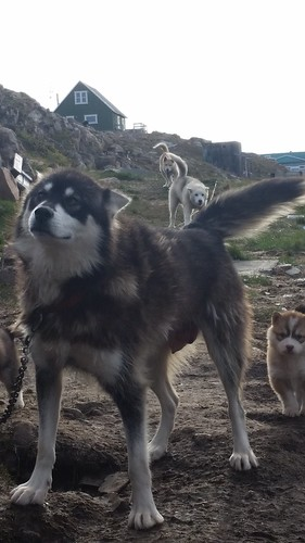 Peter's dogs Aasiaat