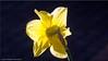 Osterglocke - daffodil