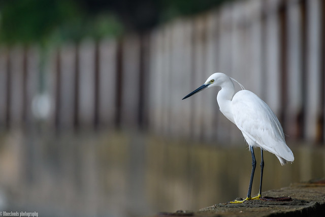 CHU_0370-2 (Little Egret)