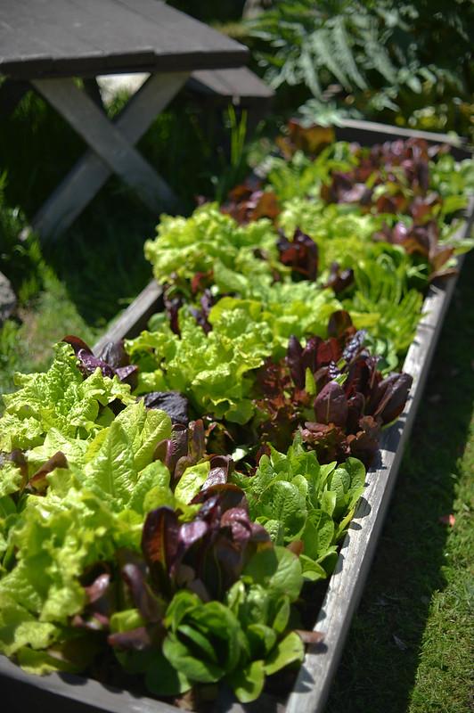 lettuces at fiore