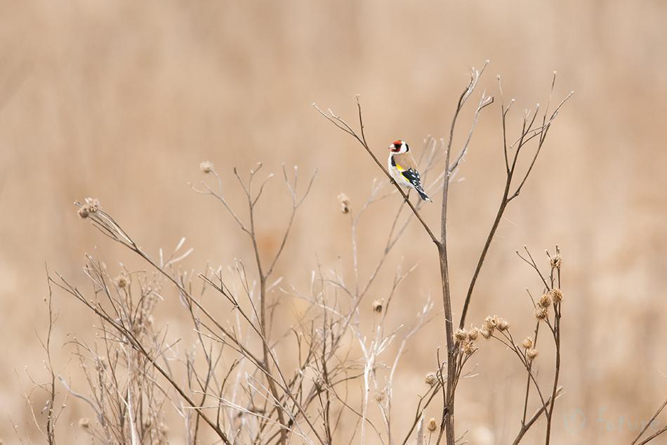 Ohakalind, Carduelis, European, Goldfinch, Eurasian, Estonia, Kaido Rummel